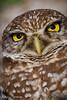 2011-Feb - Burrowing Owl - Brian Piccolo Park - FL © Rui Teixeira - 001-2.jpg