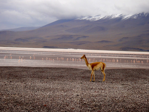 Vicuña and Flamingos