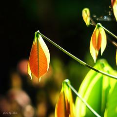 bokeh and backlighting #2 (e.nhan) Tags: light art leaves closeup dof bokeh backlighting enhan