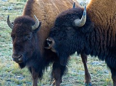 That Kiss American Bison (1 4nature) Tags: love nature kiss wildlife bison