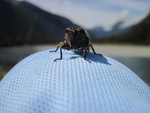 west coast cicada