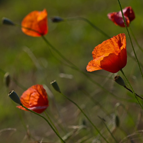 Coquelicots (Papaver rhoeas) Poppies