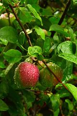 WetApplesV (jklune) Tags: food tree apple wet water leaves rain fruit drops healthy branch gardening crop growing limb nutrition