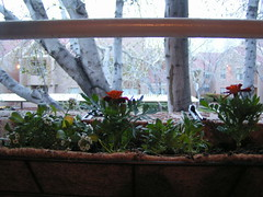 Window Box (ocelot1) Tags: flowers orange plants white plant flower garden balcony marigold windowbox containergarden alyssum tagetes balconygarden lobulariamaritima