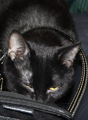 Max Searches My Purse For Car Keys! (silverbox2: Willow Is Purring) Tags: pet max cat blackcat eyes key purse thief youlookinatme siamesecatsandtheirfelinebrothers petpeeved wonderfulfelinesworld