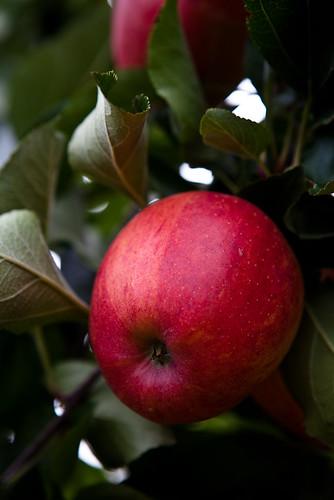 red apple on apple tree image