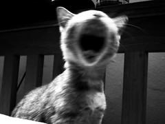 """SCREAM 4 ME ZEUSY AN FOEBE!"" (stratman (2 many pix and busy)) Tags: cats kittens  orangecats dfp littlejoey kittehs oreengeness catmoments friendsofzeusphoebe"