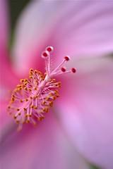 Hibiscus (PongsawatD) Tags: pink flowers macro rose canon eos chinese sigma apo hibiscus pollen 70300 f456 450d blinkagain bestofblinkwinners