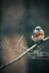 Blue Bird (Harris Clayton) Tags: blue brown bird photoshop eyes branch bur clayton edited grain beak feathers photograph harris harrisclayton