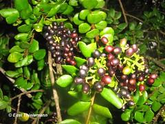 Notanthera heterophylla, frutos (Chilebosque) Tags: del heterophylla loranthaceae boldo quintral parsitas notantheraheterophylla notanthera