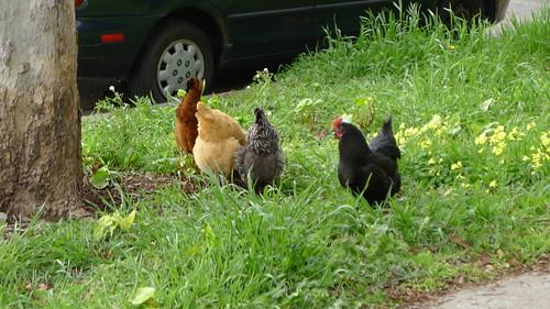 the chickens of berkeley - call them free range