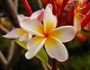 Plumeria (jcc55883) Tags: flowers hawaii nikon oahu plumeria diamondhead tropicalflowers kaalawaibeach flowersofhawaii nikond40 diamondheadroad kuileicliffs