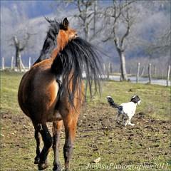 ~~Identiques dans le geste...!~~ (Jolisa) Tags: horse dog chien motion nature fun caballo cheval nikon course hund pferd mouvement queues jeu drle galope galop plantecheval