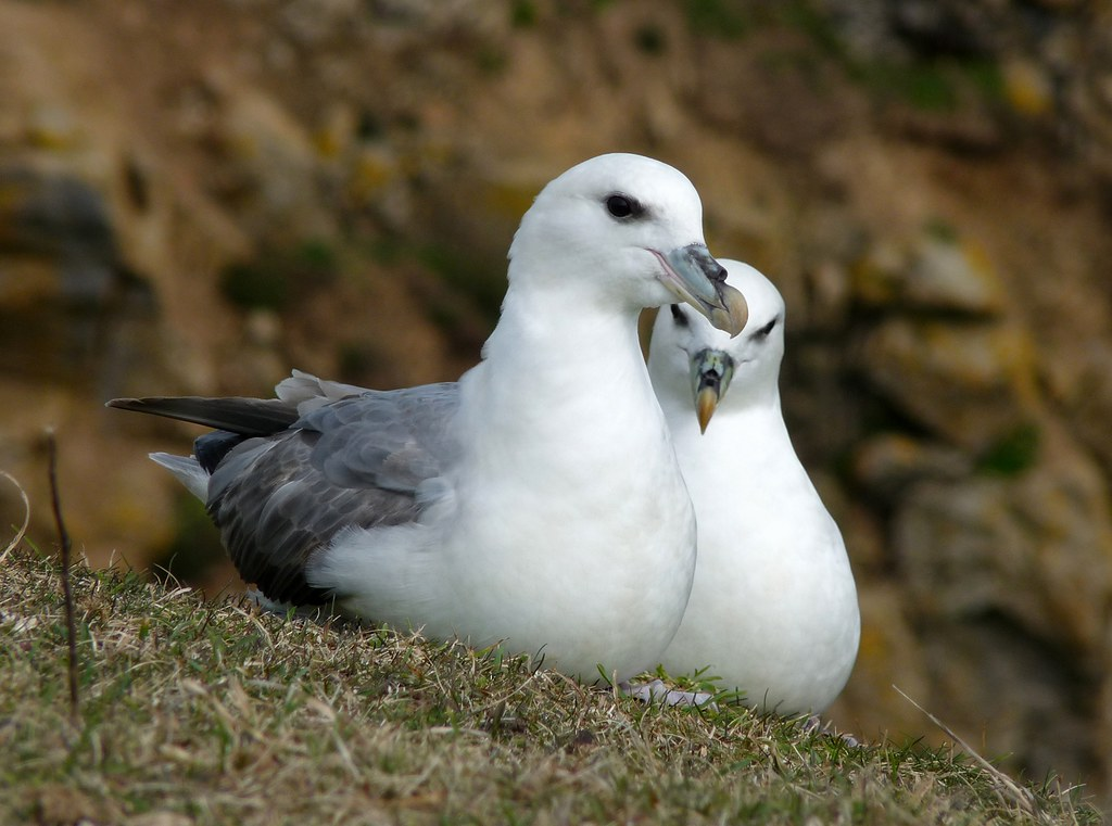 23986 - Fulmar, Stackpole Head, Pembrokeshire
