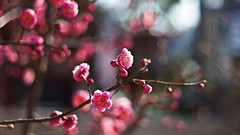 Counting my blessings (moaan) Tags: life leica digital 50mm march spring dof blossom bokeh dr smiles summicron utata ume m9 japaneseapricot f20 2011 inlife leicasummicron50mmf20dr comeintoblossom leicam9 smilesofspring gettyimagesjapanq2