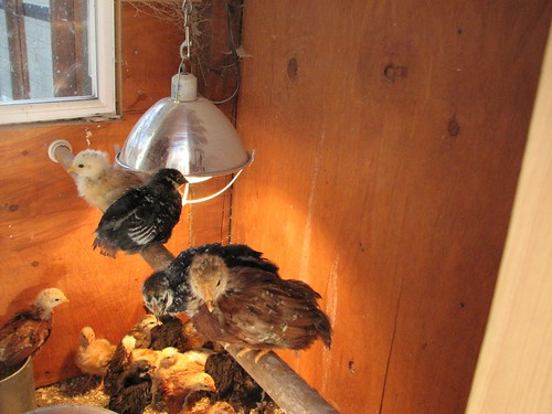 chicks roosting