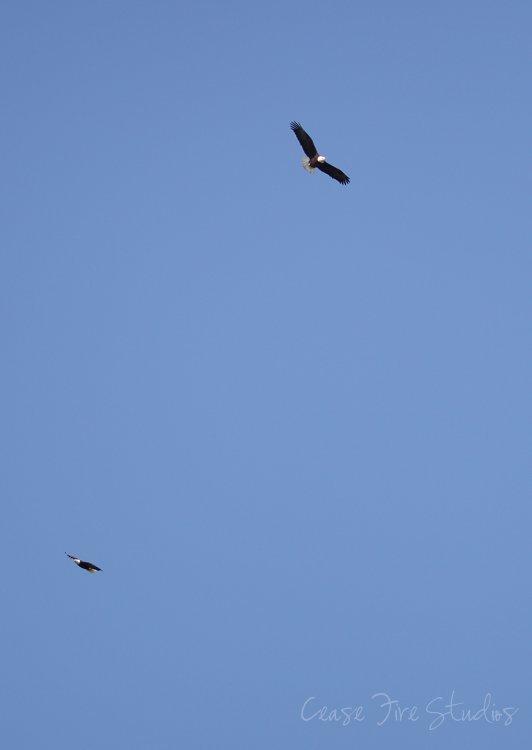 03-11-eagles2