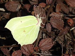 Brimstone Butterfly (ukstormchaser (A.k.a The Bug Whisperer)) Tags: uk animal animals butterfly march fly spring wildlife milton keynes brimstone buttterflies