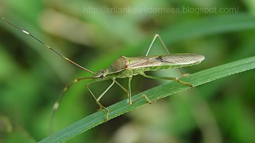 Paddy Fly/Leptocorisa varicornis/ගොයම් මැස්සා,
