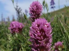 Owls Clover 03 (Tom Hilton) Tags: color wildflowers castilleja castillejaexserta orobanchaceae windwolvespreserve