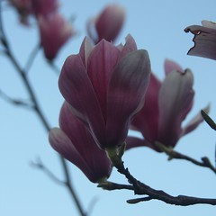 Blooming Two-fers (scott185 (the original)) Tags: flowers trees nc spring blossoms northcarolina blooms asheboro randolphcounty randolphcommunitycollege downtownasheboro