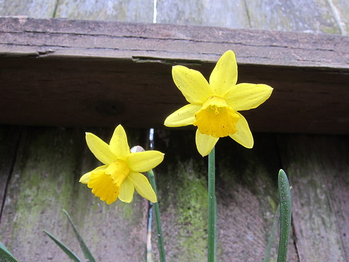 Rogue Daffodils