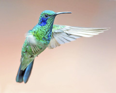 Green Violetear Hummingbird in Costa Rica (Dave W.) Tags: greenvioletear colibrithalassinus nbw grev hummingbirdinflight mothernaturesgreenearth mygearandme mygearandmepremium mygearandmebronze mygearandmesilver photobydavewendelken coltha birdsatsavegremountainhotel hummingbirdincostarica explore17mar11