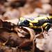 Salamandra en el Montseny 4