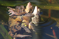 three's a crowd (Rana temporaria) (BJSmit) Tags: macro home march flash frog 7d mating threesome frosh rana grenouille kikker ranatemporaria speedlite 2011 grasfrosch ranidae commonfrog matingfrogs bruinekikker grenouillerousse europeancommonfrog europeancommonbrownfrog eos7d canon7d canonspeedlite430exii żabatrawna canon100l canon100mml