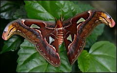 Atlas Moth (Angella's Photography) Tags: arizona gardens butterfly botanical photography la nikon tucson magic insects bugs moths angella naturesgallery nationalgeographicwannabes d7000 defendersnaturemacroandcloseup worldnaturewildlifecloseup nikonflickraward mygearandme mygearandme1 digitalphotographyschoolphriends nikond7000club rolyegroup