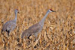 Still on the look-out for those pesky photographers (jc-pics) Tags: birds nikon sigma cranes migration 500mm sandhillcranes d90 150500mm