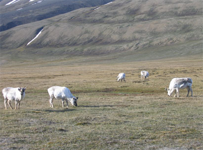 Ideal conditions for counting Svalbard reindeer: here are 15 animals.