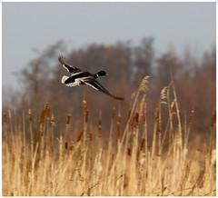 Flight of the duck (NLHank) Tags: holland bird nature netherlands dutch birds canon landscape eos duck nederland natuur 7d 70200 eend vogel overijssel waterbirds landschap natuurmonumenten wieden watervogel eos7d