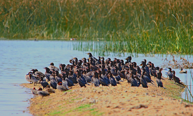 2011_02_13_016803_Cormorants_Chorus_Crop