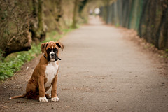 Down that alleyway (Danny Beattie) Tags: puppy george naturallight 11weeks boxerpuppy sonya550