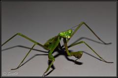 Praying Mantis (Scottmh) Tags: macro up mantis insect nikon close praying d60