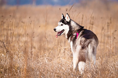Maya in the morning (Emyan) Tags: wild dog nature animals canon spring husky maya walk siberian frass siberianmiraclebirdofparadise