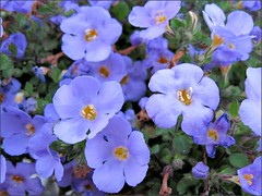 Hanging basket with blue flowers