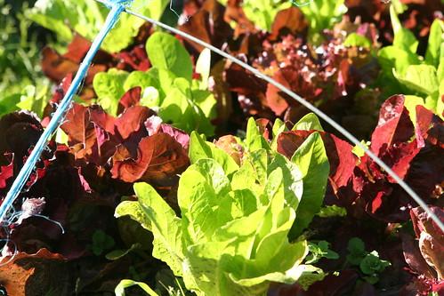 Lettuce Growing on School Farm
