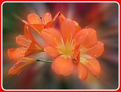 14032011 (17) Clivia (elcid3) Tags: flowers macro nature flora closeups beautifulflowers flowersarebeautiful stunningflowers thebestmimamoresgroups