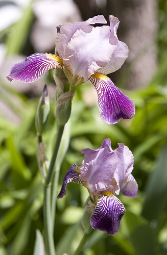 purple iris pair