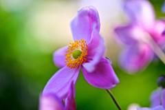 Anemone (tez-guitar) Tags: flower blossoms bloom autumn autum pentax pentaxart petal macro sigma kamakura temple