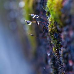Visit to the miniature world (Premysl Fojtu) Tags: moss miniature detail closeup macro water drops drop bokeh dslr canon nature square beautiful poetic colour