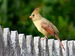 Northern Cardinal, Urban Forestry Center, Portsmouth NH 9/27/16 (LJHankandKaren) Tags: cardinal northerncardinal urbanforestrycenter