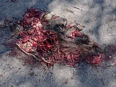 porcupine roadkill (alfaltendorf) Tags: italy sicily italien sizilien porcupine roadkill stachelschwein puercoespín deadanimals