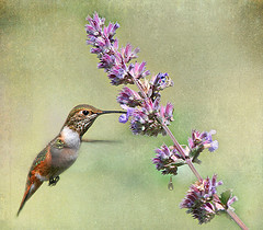 Rufous Hummingbird Textured (janruss) Tags: bird avian hummingbird hummer rufoushummingbird janruss janinerussell magicunicornverybest magicunicornmasterpiece theunforgettablepictures tatot explore