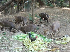 The Rooster and the Bucks (rodeochiangmai) Tags: chickens animals thailand wildlife deer antlers asiandeer