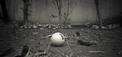 Lost Golfball-2011386 (Ashok_Goyal) Tags: golf lost cropped golfball ilfordfp4 ilfosol3 noonpinhole shot6by12 landscapeinmygarden