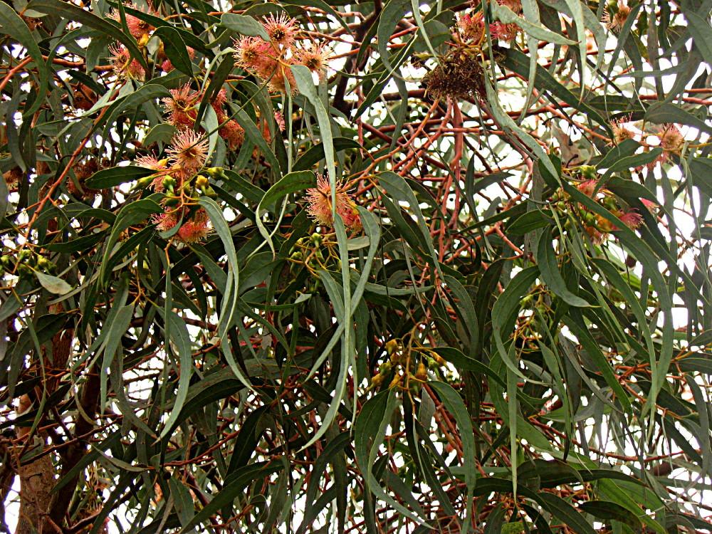 29-01-2011-eucalyptus-torquata-tree3