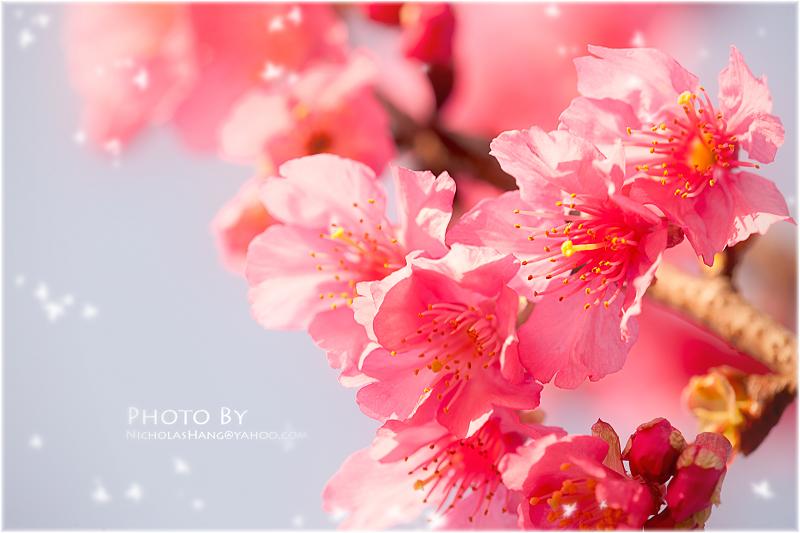 林口運動公園的櫻花